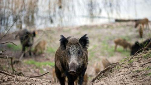 Affiche peste porcine au 21022020
