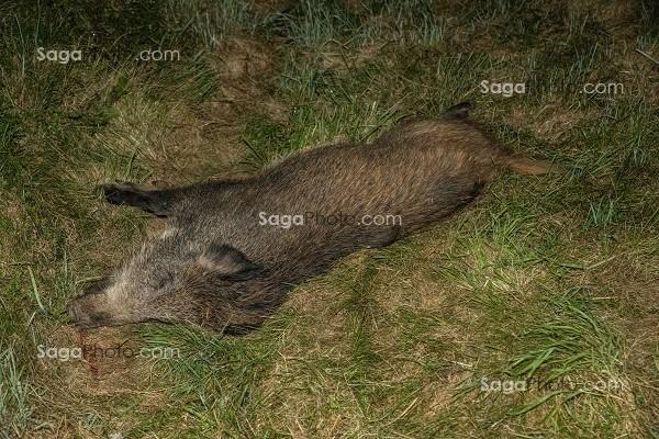 Sanglier mort